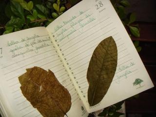 Colecionar-e-classificar-folhas